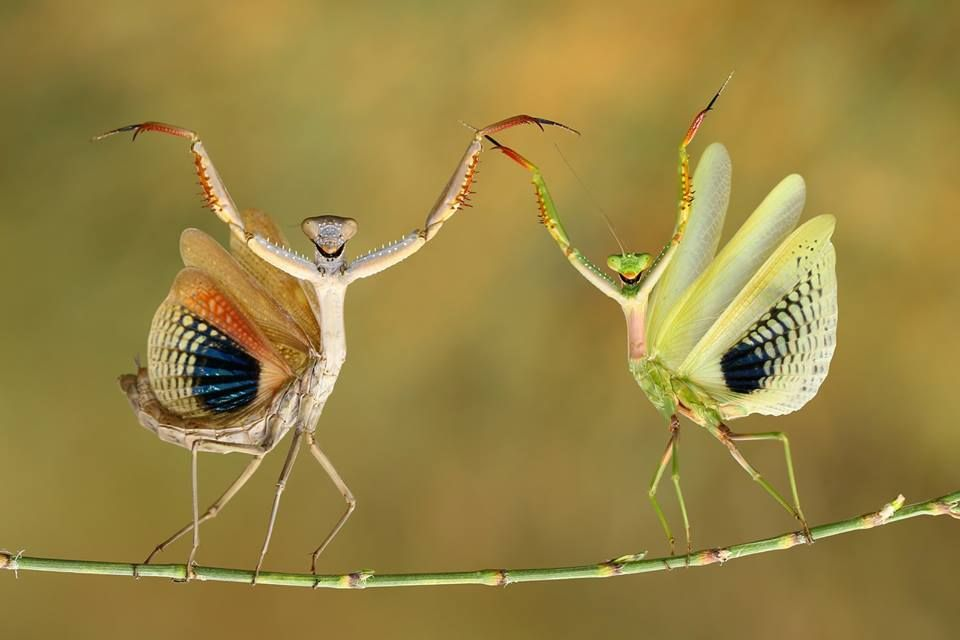 Mantis display : Hasan Bağlar, National Geographic, Turkey