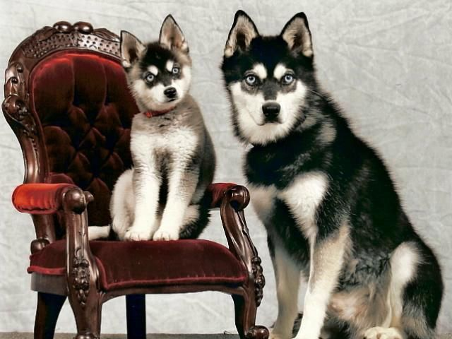 Alaskan Klee Kai Puppy And Adult Cute Animals Dogs And Puppies
