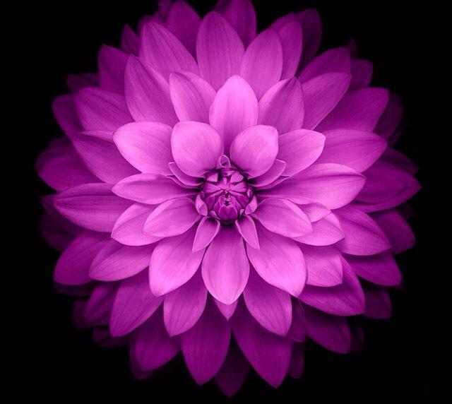 Wallpaper Iphone Violet: Lavender & Purple Dreams