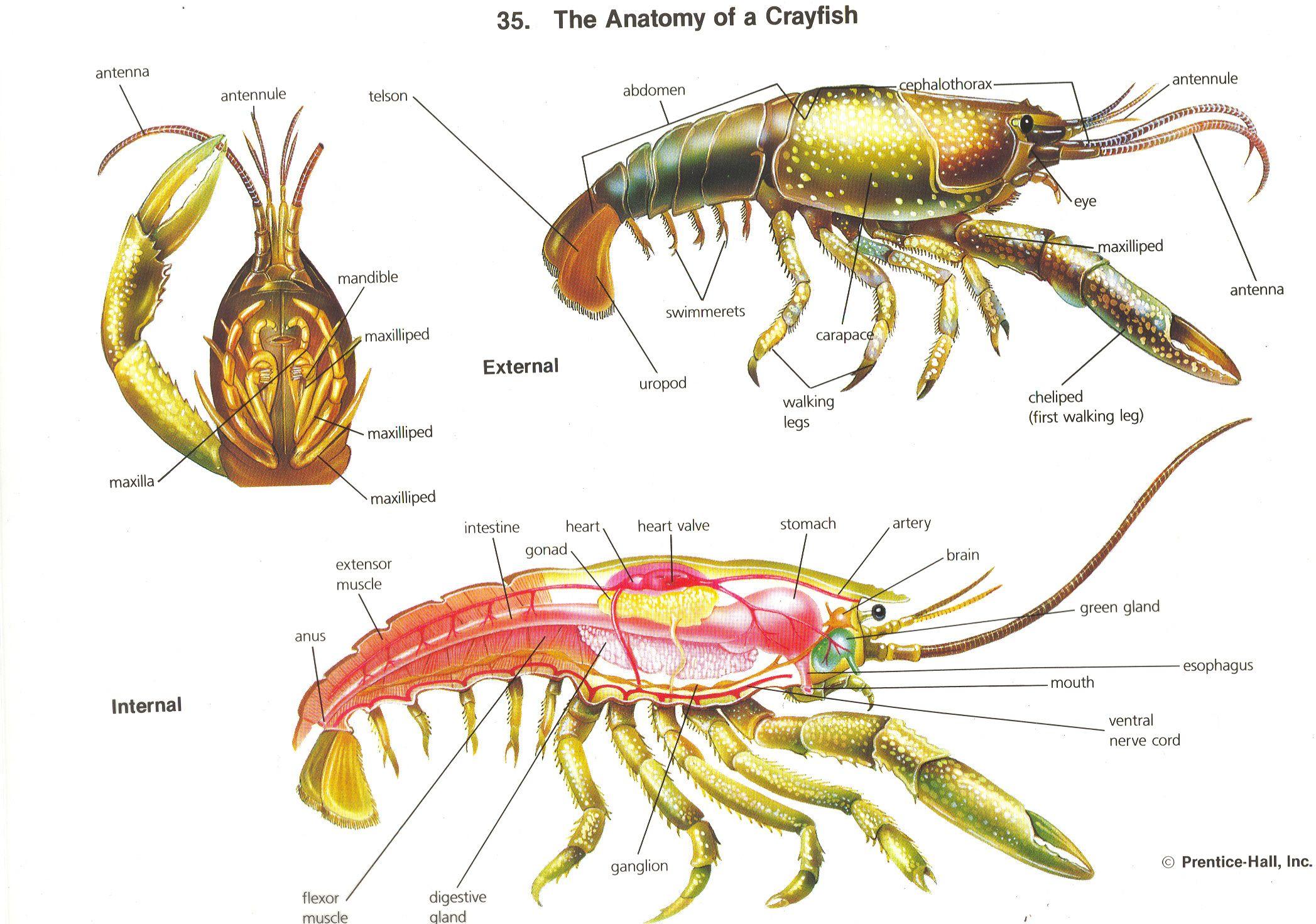 hight resolution of crayfish anatomy