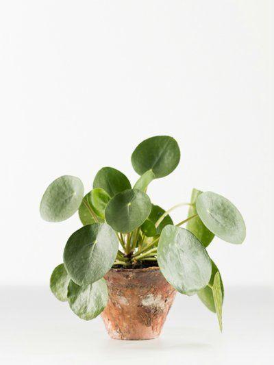 Chinese money plant thejoyofplants indore plants also bathroom ideas pinterest rh