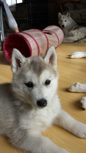 Siberian Husky Puppy Susse Hunde Hunde Hunde Welpen