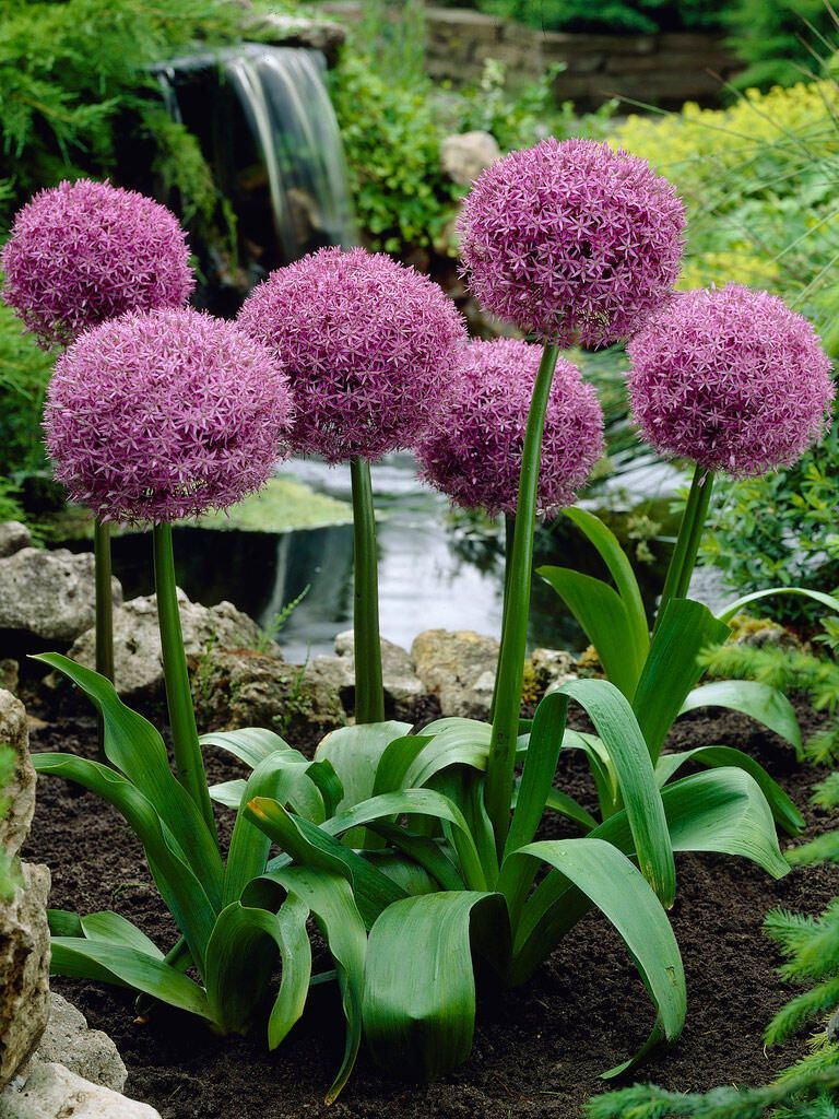 Allium Globemaster Bulbs For Sale Gardener S Supply In 2020 Flower Landscape Bulb Flowers Allium Flowers