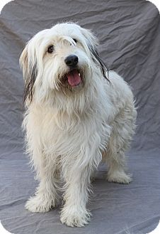 Greensboro Nc Bearded Collie Mix Meet Snoop A Dog For Adoption