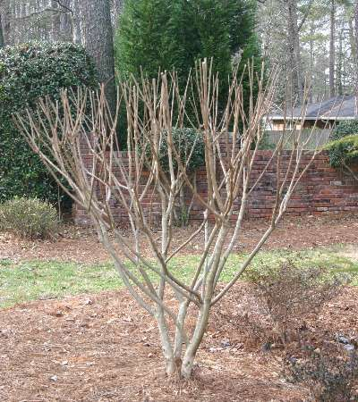 Crepe Myrtle What They Should Look Like When Properly Pruned Do Not Hard Prune It Creates Knuckl Crape Myrtle Crepe Myrtle Landscaping Crepe Myrtle Trees