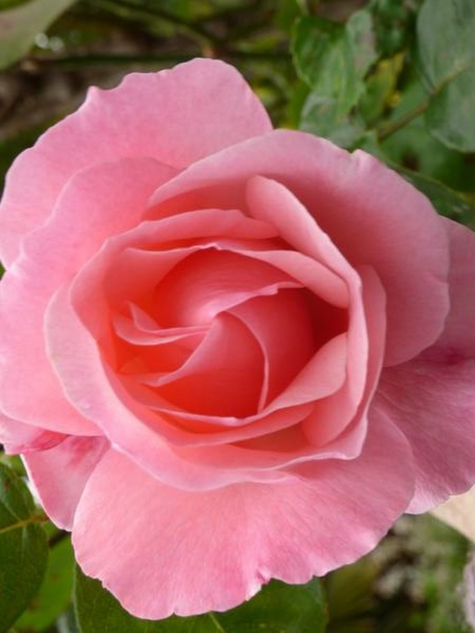 Pin by cynthia reece the purple iris on a rose is a rose is a rose is a rose by cynthiabreece photo izmirmasajfo
