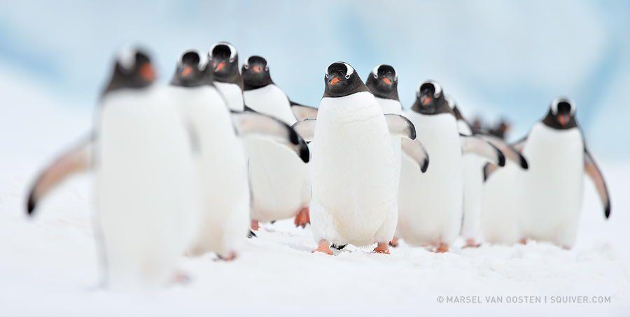 Penguin Highway by Marsel van Oosten - Photo 31285807 - 500px