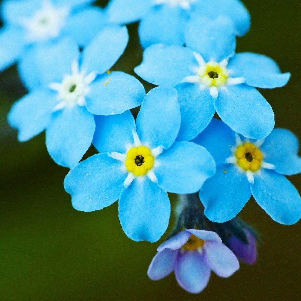 Aesthetic+Myosotis+sylvatica+forget-me-not+flowers