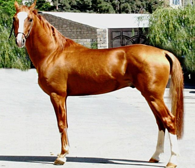 The premier living Karabakh stallion in the world -  Golden Boy II MNM. Karabakhs have a similar hair shaft mutation to Akhal tekes that make them glow. This was passed down to both breeds from the now-extinct original Turkoman horse. This is not one of those enhanced photos from a pro shoot. And he still glows.