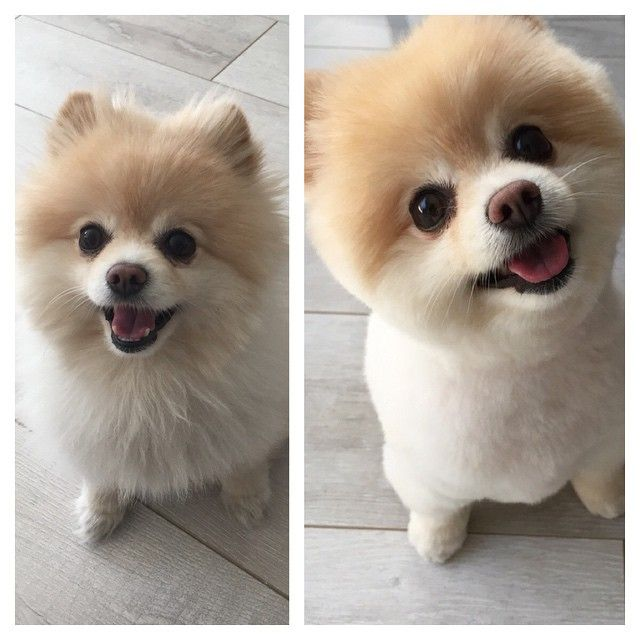 Haircuts For Pomeranians: Romy_gram Before And After Haircut