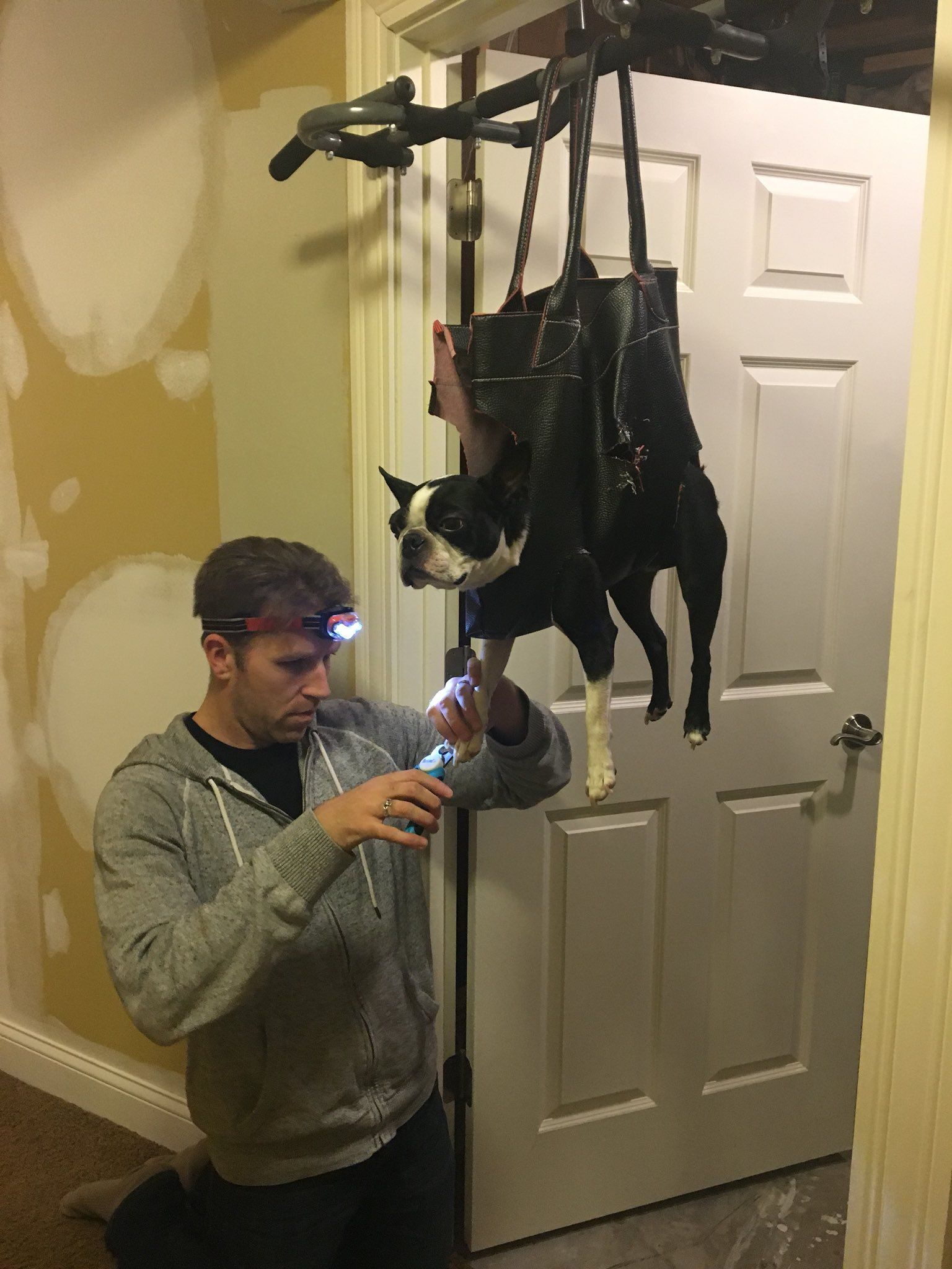 Lol brilliant a boston terrier that hates getting its