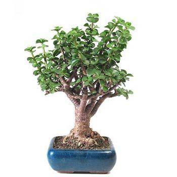Arbre De Jade En Bonsai Avec Images Bonsai Crassula Ovata