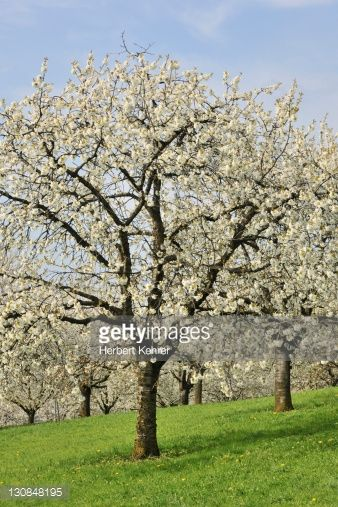 Stock Photo : Flowering cherry trees in spring