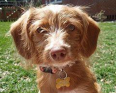 Dachshund Poodle Mix Puppies Poodle Mix Puppies Poodle Mix