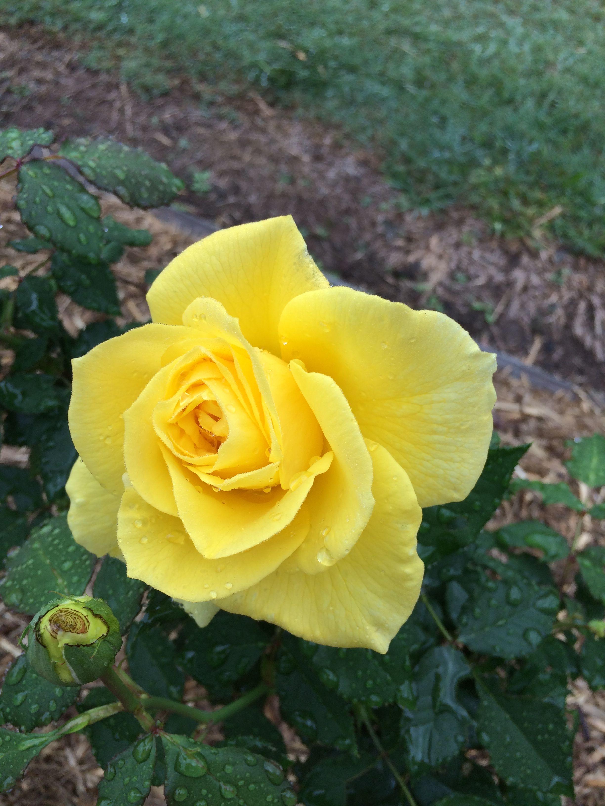 Freesia Flowers Rose Rose Garden