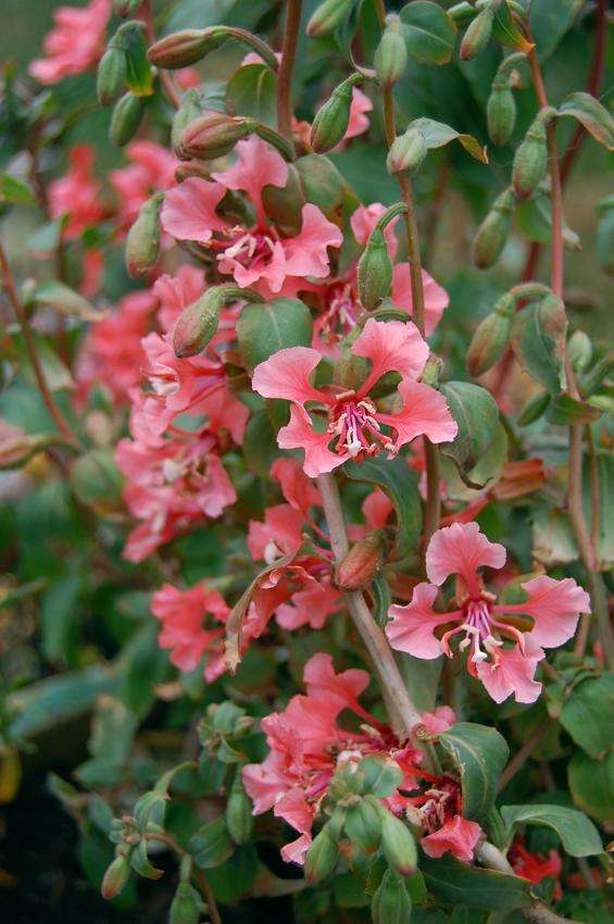 Clarkia Unguiculata Salmon Princess Buy Online At Annie S Annuals In 2020 Flower Farm Plants Unusual Plants