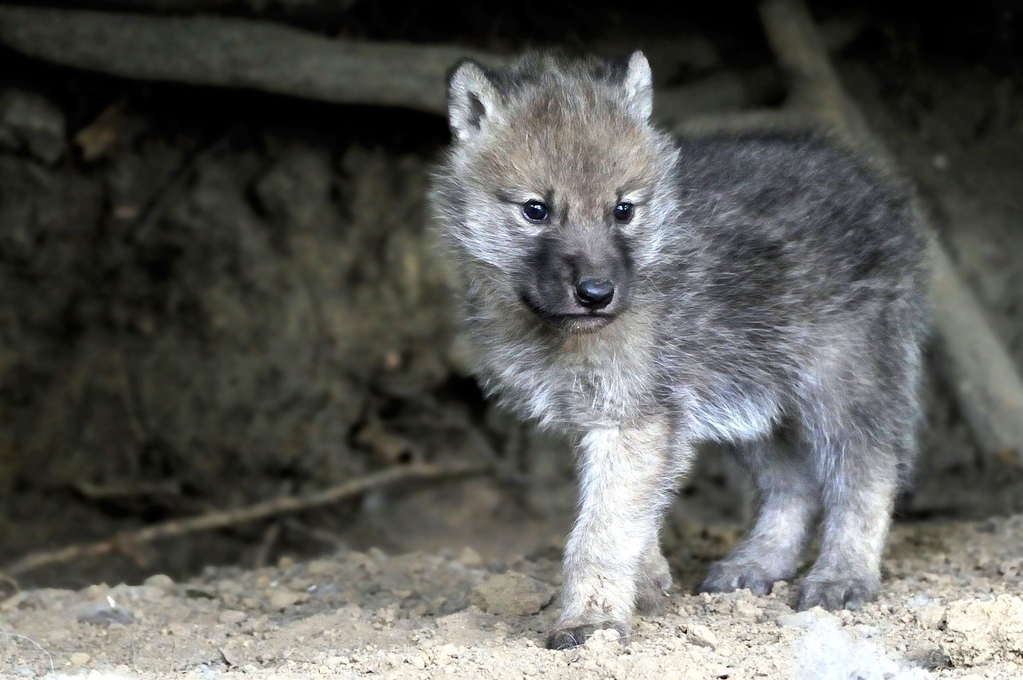 Must see Gray Wolf Wallpaper Baby - 33b23af1ea568556c64ba9aa3b5c4341  You Should Have_20169.jpg