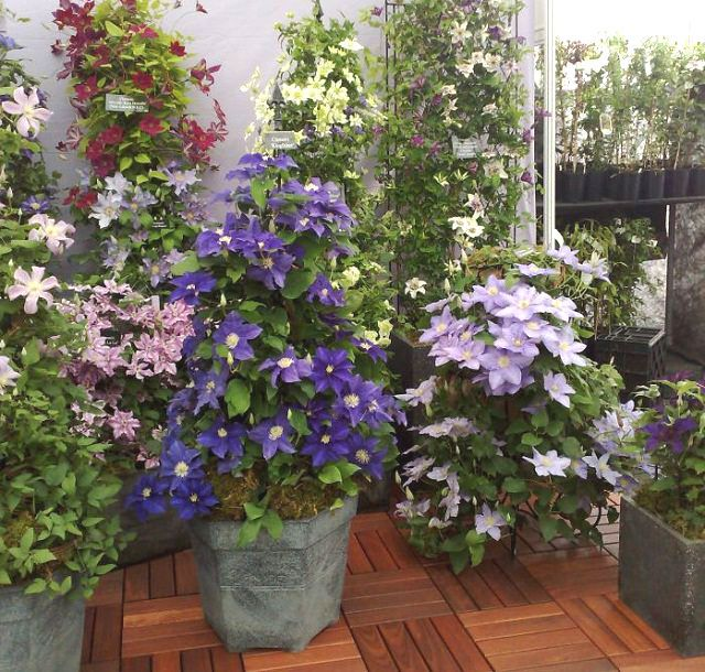 24 Best Vines For Containers Plants Container Plants Hanging Plants