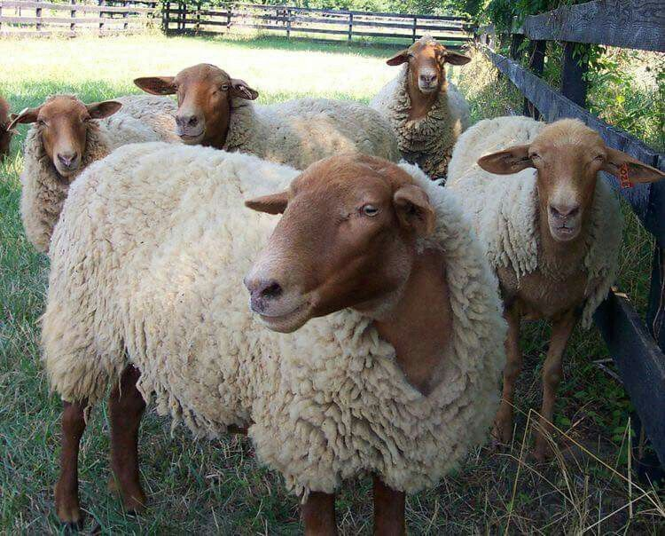 California red Sheep breeds, Red sheep, Sheep