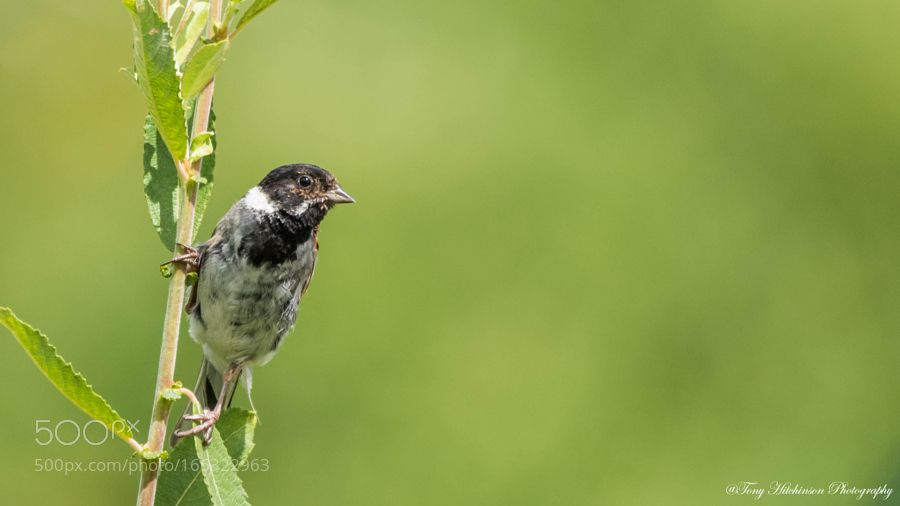 Male Reed Bunting by thitchinson