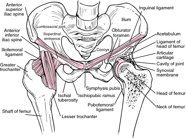 Diagram Of Hip Ligaments - Auto Electrical Wiring Diagram •