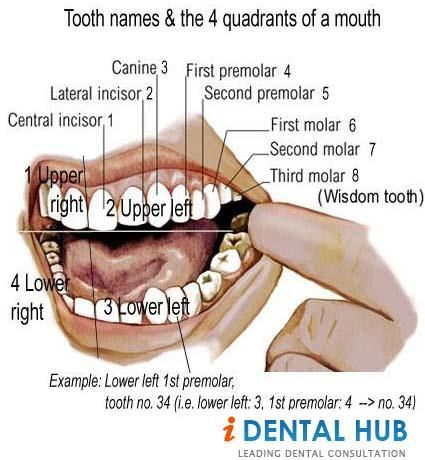 Third Molars Or Wisdom Teeth Or Wisdom Tooth Are The Last Tooth In Permanent Dentition However There Are Wisdom Teeth Tooth Extraction Care Wisdom Teeth Funny