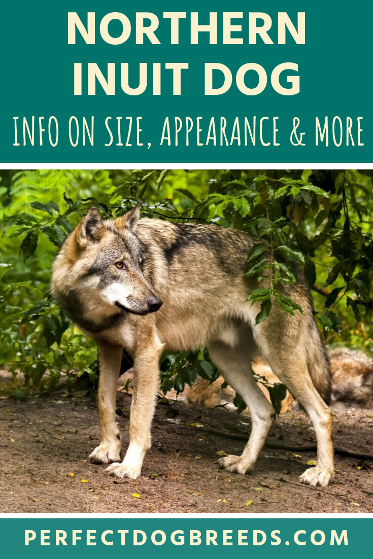 Standard Wolf Size In Comparison To Dogs - Gambar ...