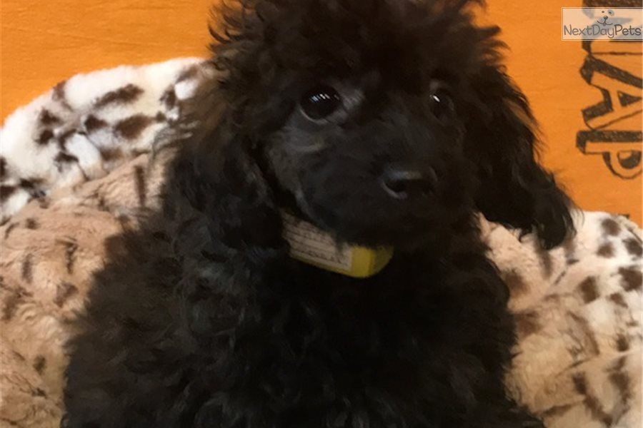 I Am A Cute Poodle Toy Puppy Looking For A Home On Nextdaypets
