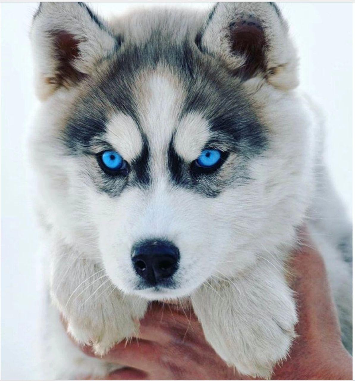 What A Gorgeous Puppy Huskies Huskypuppy Blueeyes Snowdog