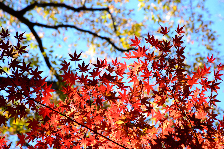 市川市・大町公園の紅葉 Autumn Leaves in Omachi Park Ichikawa city