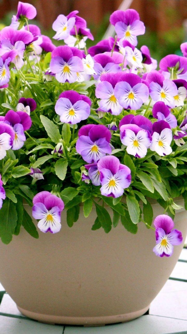 Download Wallpaper 720x1280 Pansies Flowers Pots Table Samsung Galaxy S3 Hd Background Pansies Flowers Flower Pots Pansies