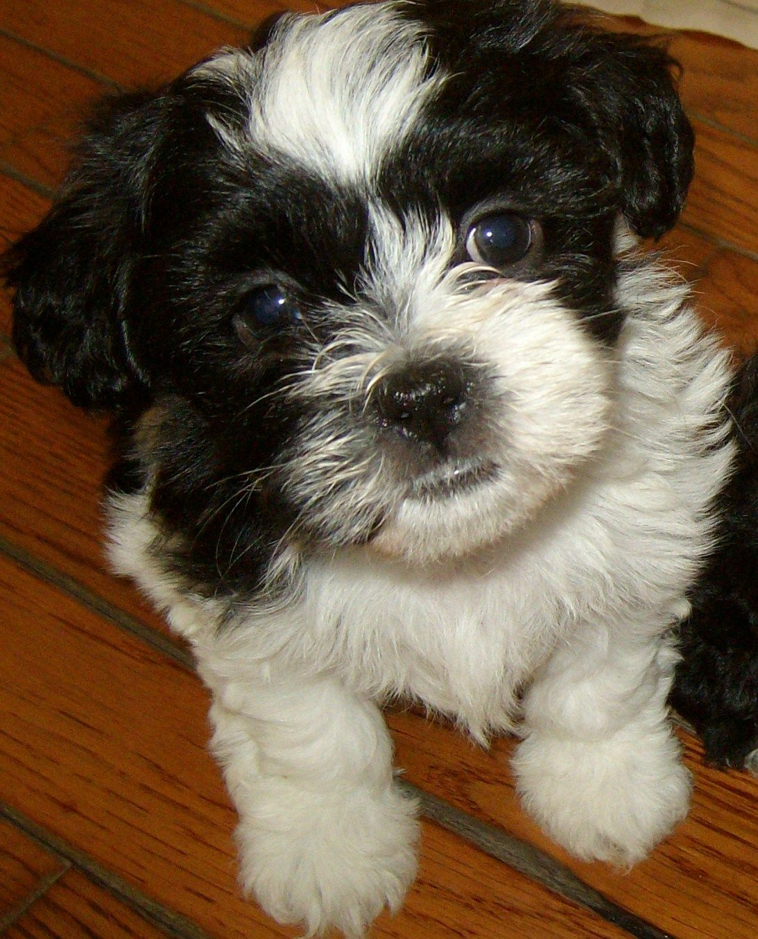 Shichon Sweet Face I Want A Black And White Brother For Elli
