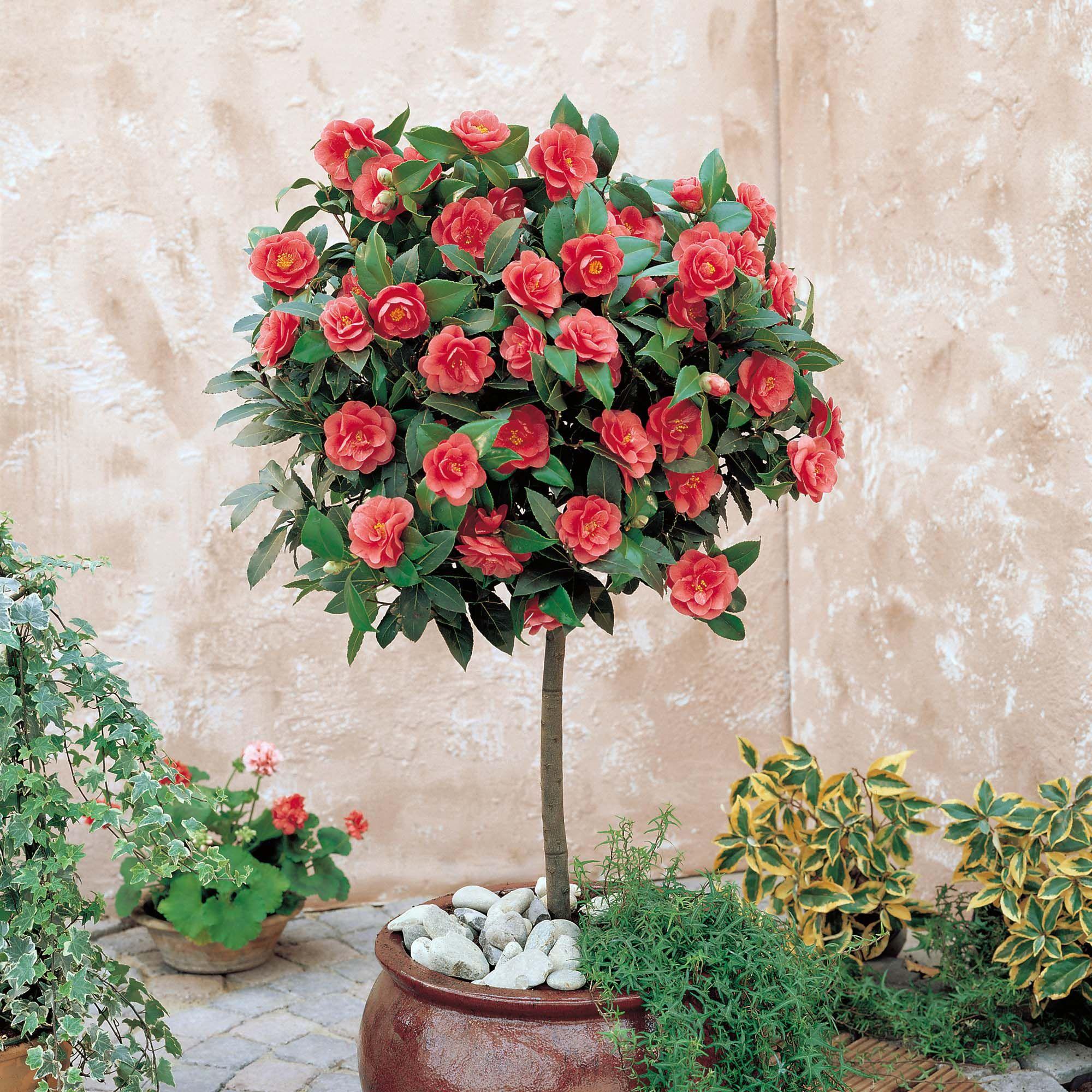 Camellias 3 Camellia Tree Camellia Plant Plant Pot Diy