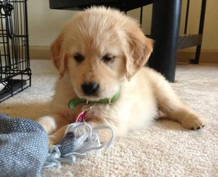 Dixie The Golden Retriever Cute Puppies Funny Dog Videos