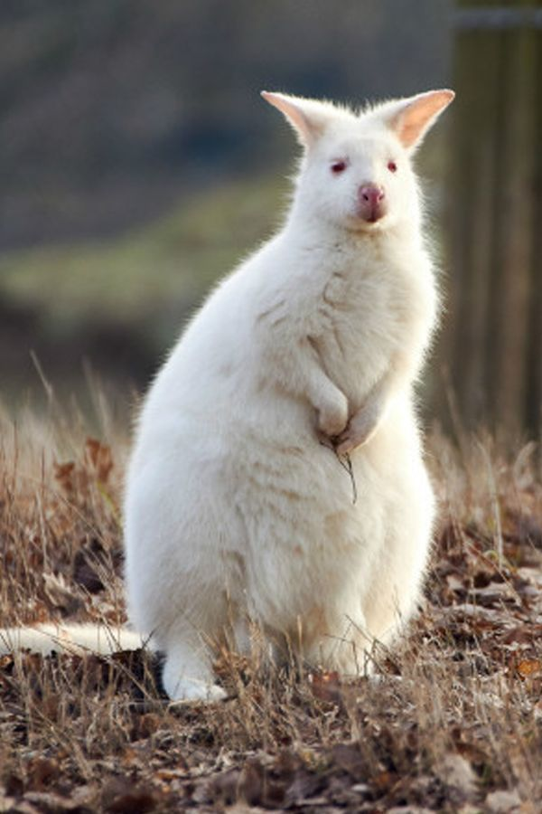 50 albino animals that people can't help but love #albinoanimals 50 albino animals that people can't help but love #Albino #animals #love #people #albinoanimals