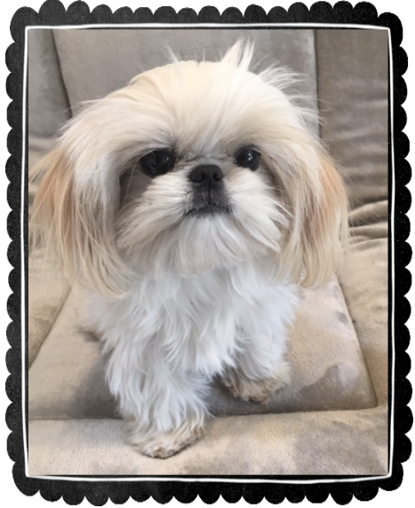 Shih Tzu Puppies Teacup Shih Tzu Shih Tzu For Sale Breeder Teacup Miniature Toy In 2020 Shih Tzu Puppy Teacup Shih Tzu Shih Tzu