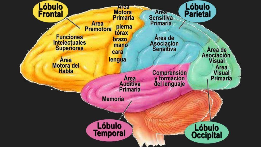 Lóbulo Parietal Qué Es Anatomía Funciones Ubicación Y Más Anatomia Del Cerebro Humano Lóbulos Cerebrales Lobulos Del Cerebro