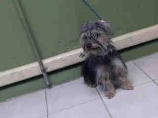 SAFE --- #A4793681 I'm an approximately 4 year old male terrier. I am not yet neutered. I have been at the Carson Animal Care Center since January 21, 2015. I will be available on January 25, 2015. You can visit me at my temporary home at C229.    Carson Shelter, Gardena, California.. https://www.facebook.com/171850219654287/photos/pb.171850219654287.-2207520000.1422050545./361753550663952/?type=3&theater