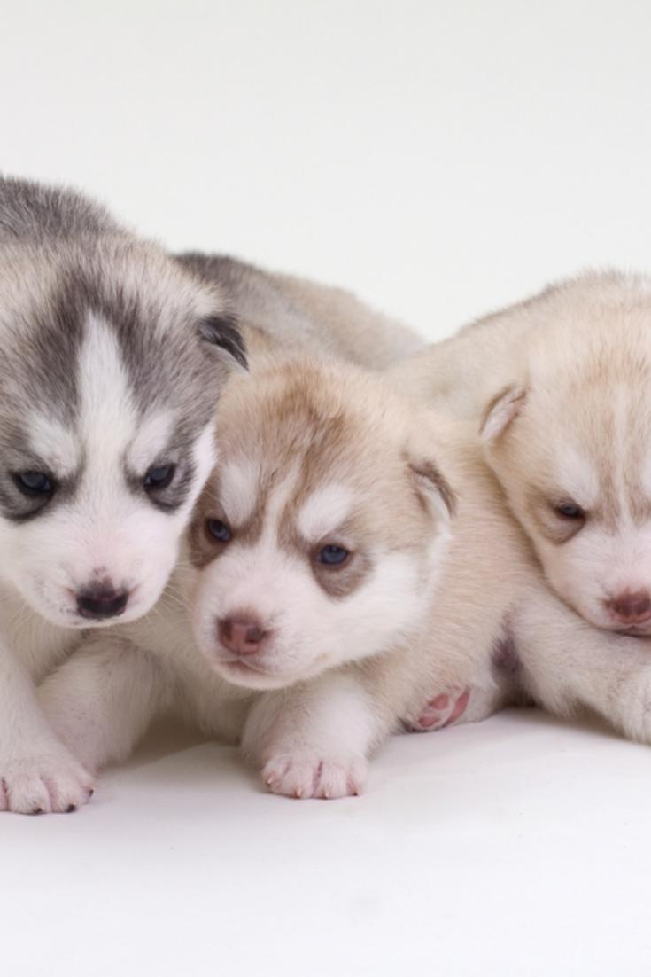 Newborn Siberian Husky Puppies Siberianhusky In 2020 Siberian Husky Puppies Husky Siberian Husky