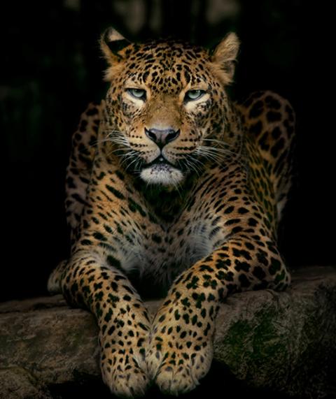Wild Cats, Animals