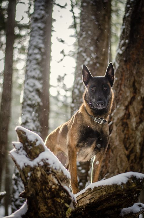 Pin By Guillaine On Les Chiens Malinois Belgian Malinois Dog Belgian Malinois
