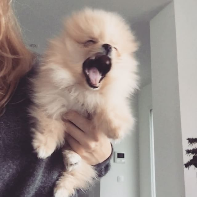 Pomeranian Puppies For Sale Get Pics And Price On Pomeranian Puppy For Sale Pomeranian Puppy Dog Halloween Outfits