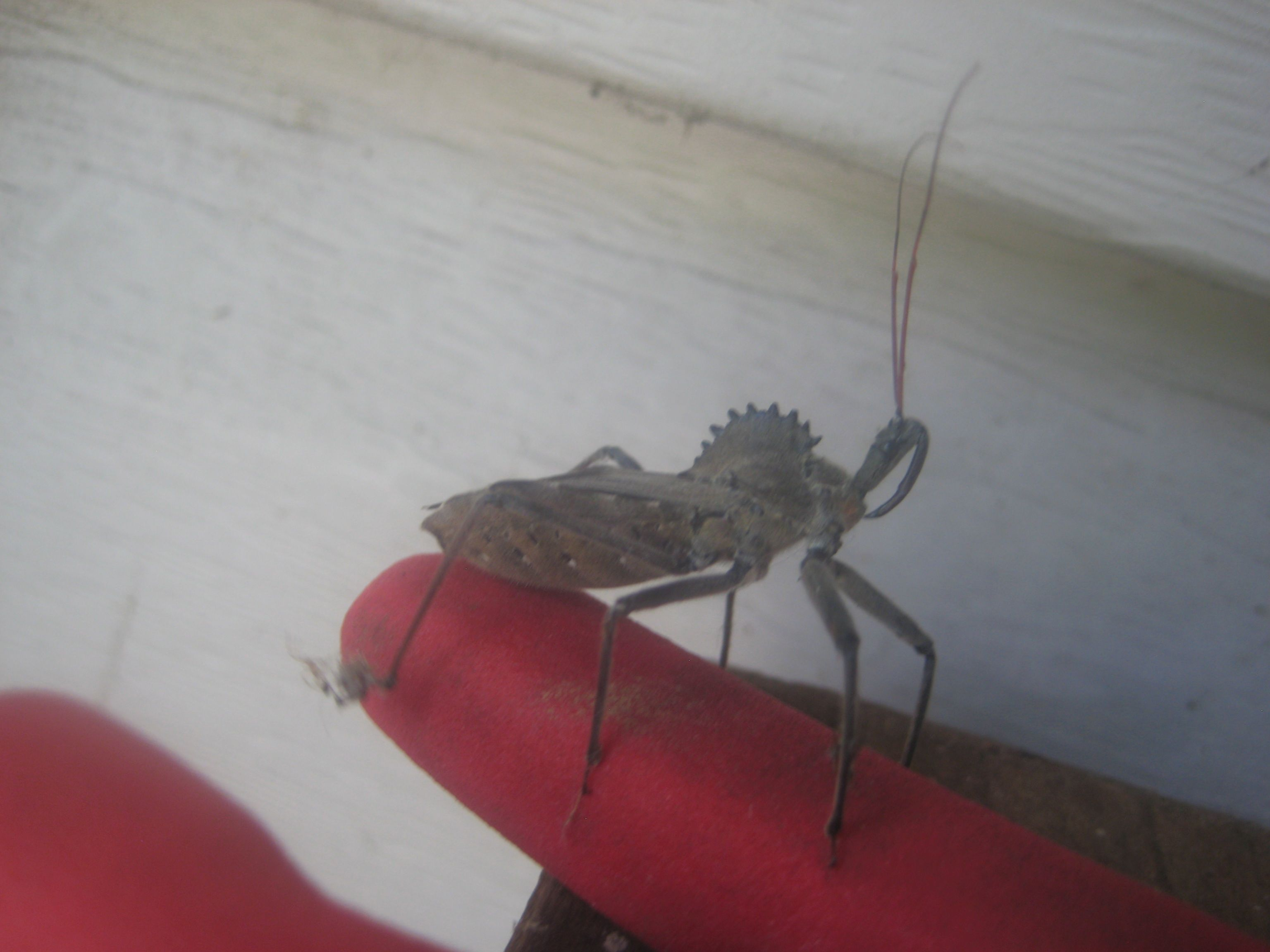 Wheel bug, please breed and eat all of our Japanese beetles