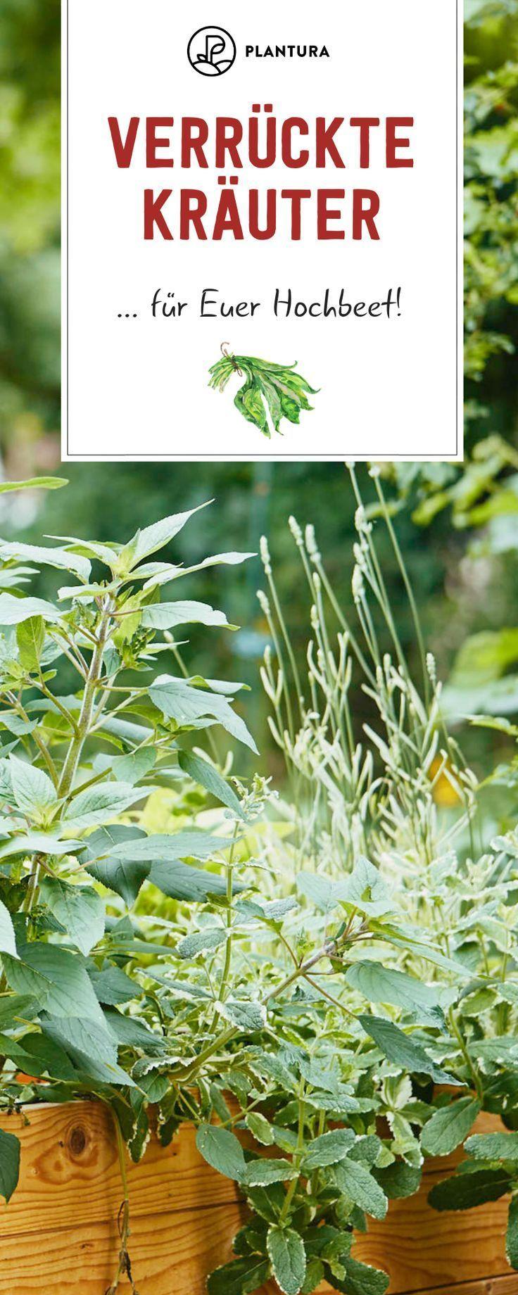 maggi pflanze