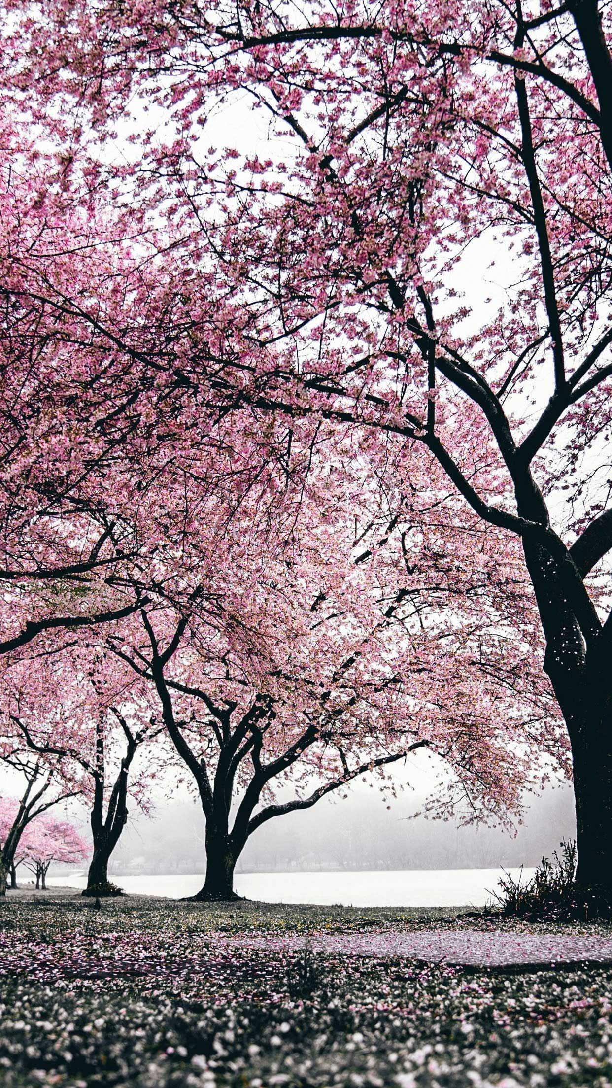 Iphone Wallpaper Sakura Trees Flowering Hd In 2020 Sakura Tree Tree Wallpaper Iphone Tree Photography