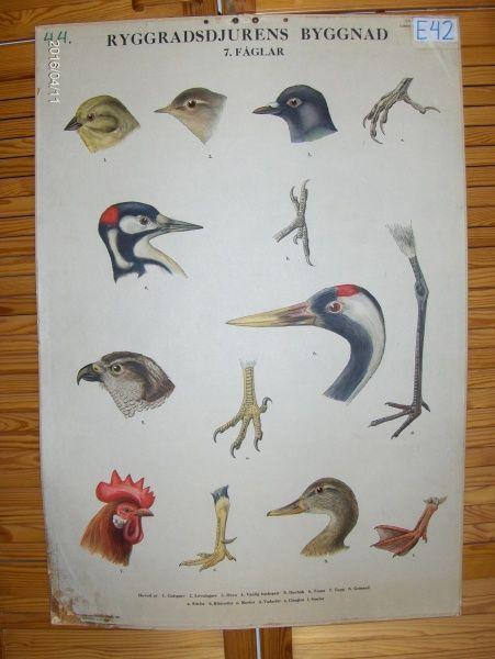 Opetustaulu: Lintujen päitä ja jalkoja. Koko 67cm x 96cm - Huuto.net