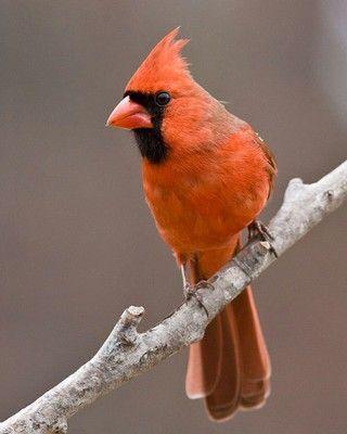 Image result for orange cardinal | WILD BIRDS | Cardinal ...