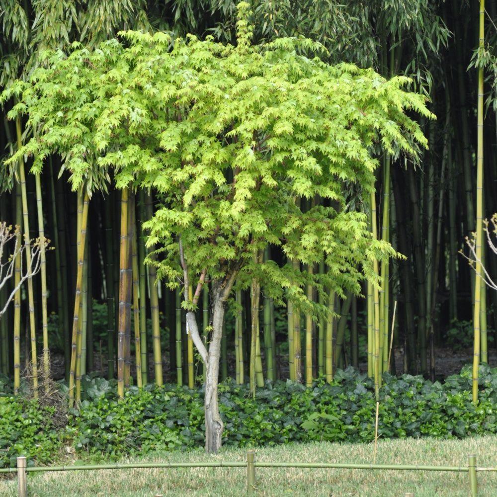 Erable Du Japon Sangokaku Acer Palmatum Herbs Nature