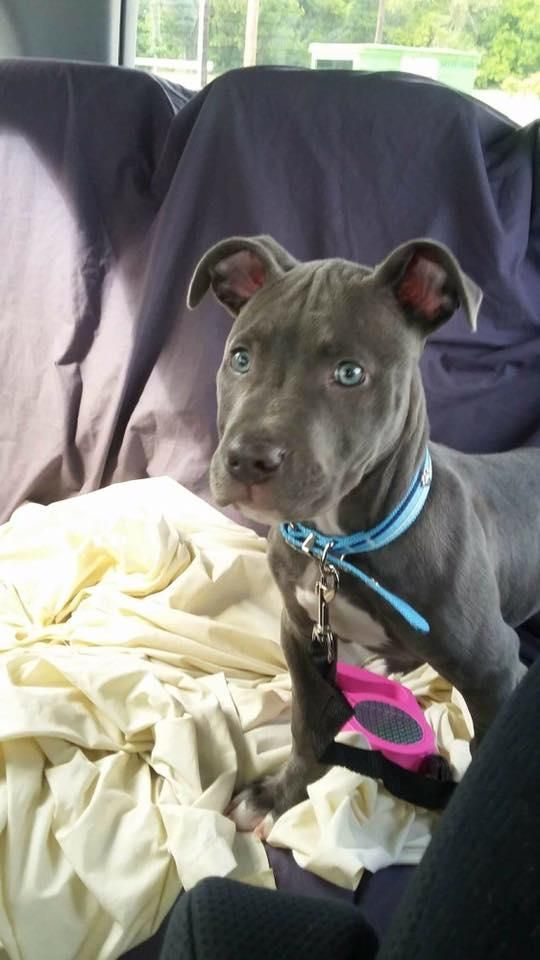 Adopt Paxton Blue On Dogs Puppies Rottweiler Puppies Pitbull
