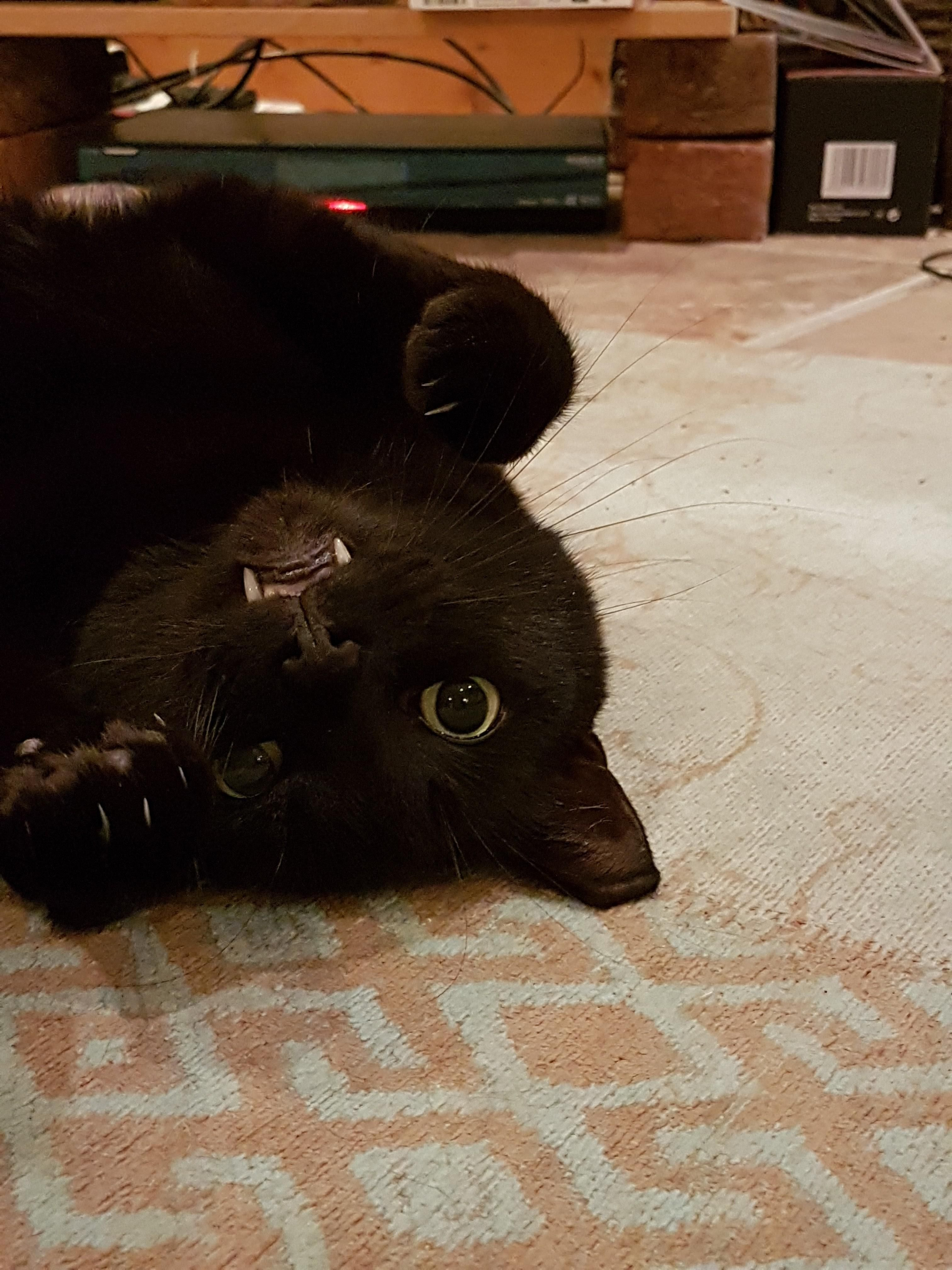 Black cats are underrated!! This is what Pickle looks like